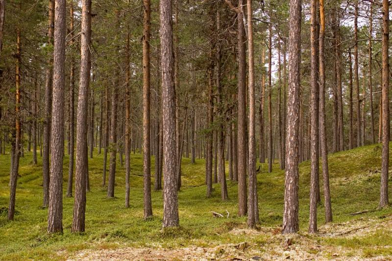 Finnish pine tree forest